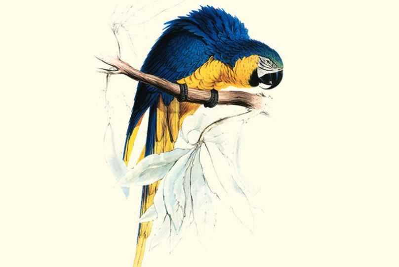 Lear_Macaw